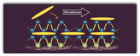 graphic demonstrating platelet aggregation